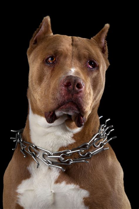 Banned breeds used for dog fights on remote farms in UAE