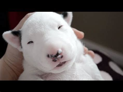 English Bull Terrier Puppies!! :D - YouTube