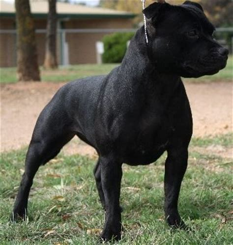 Gallery - Category: Black Staffordshire Bull Terrier